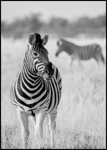 Bildverkstad Zebra Bw Poster