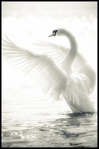 Lagervaror egen produktion Swan Poster